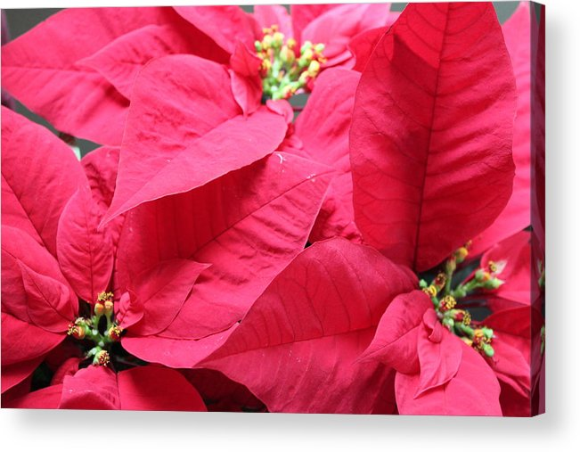 Christmas Flower Red Poinsettia Holiday Acrylic Print featuring the photograph Poinsettias #1 by Suzanne Thurman