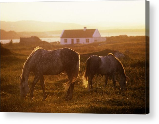 Animals In Nature Acrylic Print featuring the photograph Ponies Grazing In A Field, Connemara by The Irish Image Collection