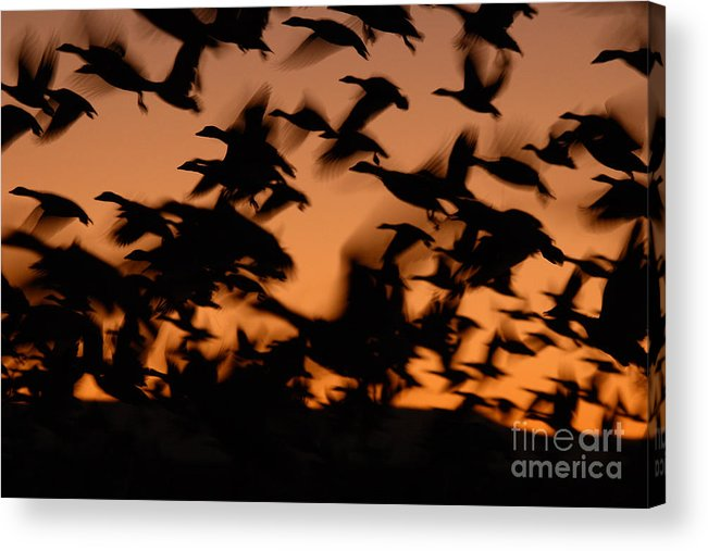 Geese Acrylic Print featuring the photograph Pre-dawn Flight Of Snow Geese Flock by Max Allen