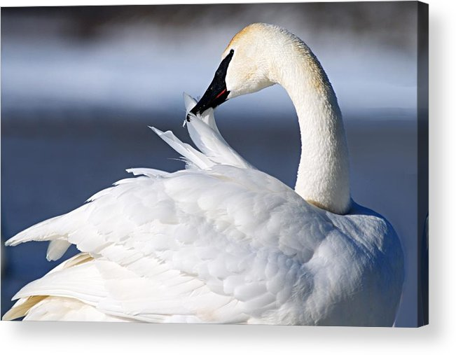 Trumpeter Swan Acrylic Print featuring the photograph Preening by Larry Ricker