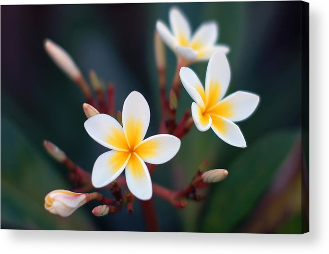 White Acrylic Print featuring the photograph Pretty Plumerias by Mandy Wiltse