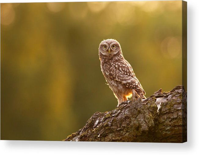 Athene Noctua Acrylic Print featuring the photograph Qui, Moi? Little Owlet In Warm Light by Roeselien Raimond