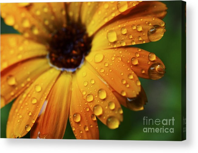 Orange Acrylic Print featuring the photograph Rainy Day Daisy by Thomas R Fletcher