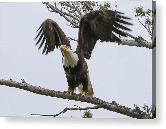 Eagle Acrylic Print featuring the photograph Ready To Go by Debbie Storie