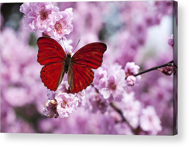 Red Acrylic Print featuring the photograph Red Butterfly On Plum Blossom Branch by Garry Gay