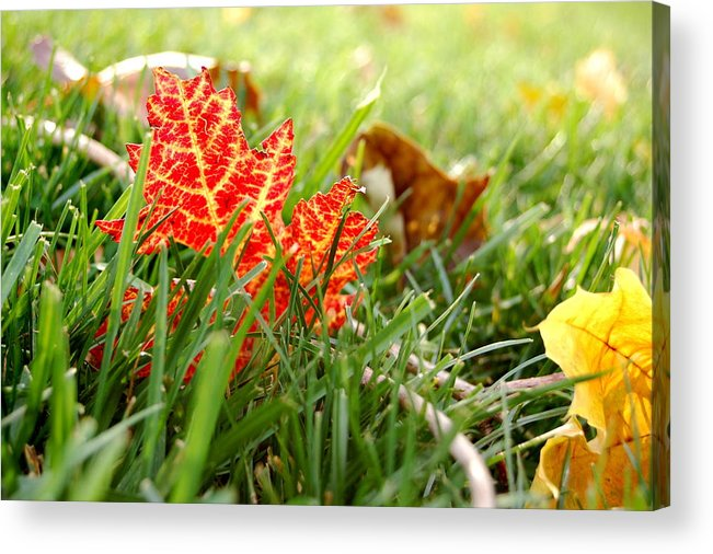 Leaf Acrylic Print featuring the photograph Red Leaf In Grass by Jennifer Englehardt