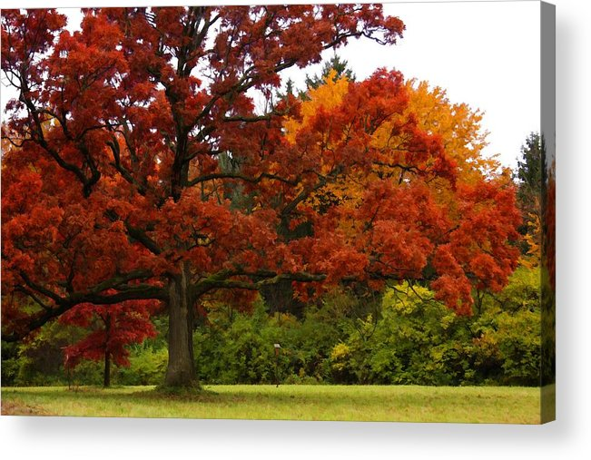 Oak Tree Leaves Red Orange Green Nature Outdoors Arboretum Foliage Grass Trunk Mighty Beauty Natural Flora Botanical Fall Autumn Autumnal Seasonal Landscape Park Acrylic Print featuring the photograph Red Oak by Lyle Hatch
