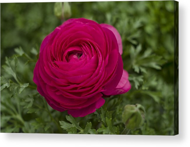 Ranunculus Acrylic Print featuring the photograph Red Ranunculus by QQ Photoworks