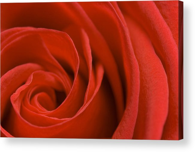 Rose Acrylic Print featuring the photograph Red Rose by Bernice Williams