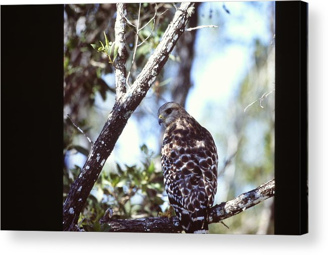 Red Shouldered Hawk Acrylic Print featuring the photograph Red Shouldered Hawk by Nicole Anderson