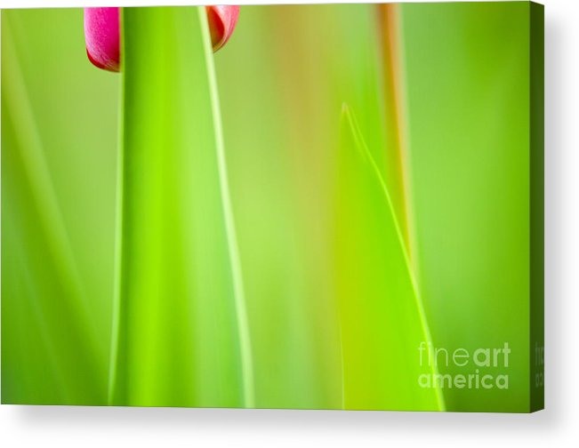 Flower Acrylic Print featuring the photograph Red Tulip by Silke Magino