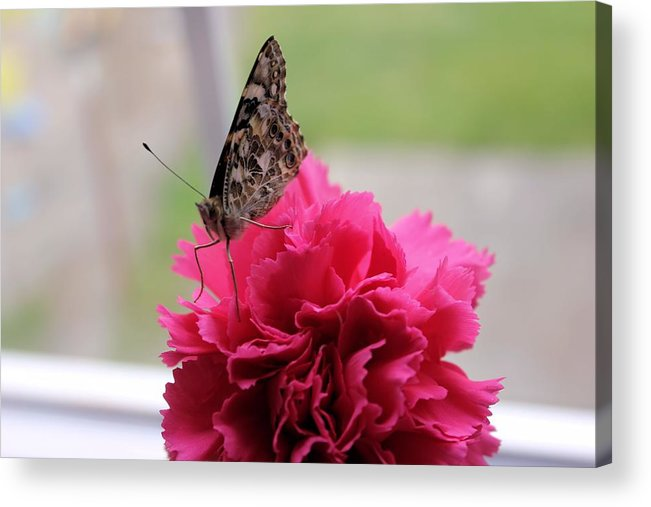 Carnation Acrylic Print featuring the photograph Resting Butterfly by Myrna Migala