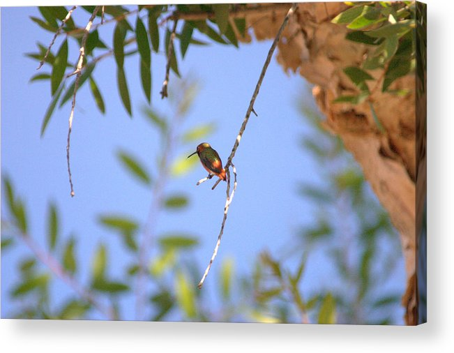 Hummingbird Acrylic Print featuring the photograph Resting Hummingbird by Brad Scott