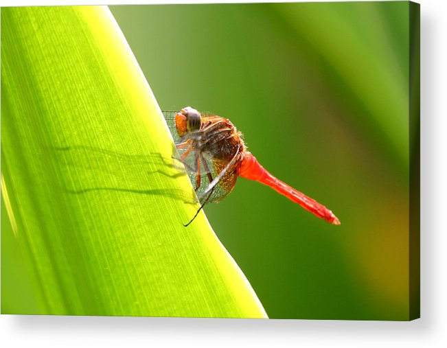 Insect Acrylic Print featuring the photograph Resting by Mark Mah