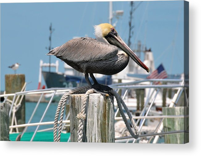 Bird Acrylic Print featuring the photograph Resting Pelican by Jerry Frishman