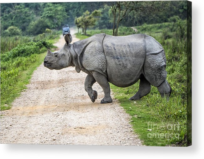 Animal Acrylic Print featuring the photograph Rhino Crossing by Pravine Chester