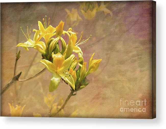 Rhododendron Luteum Acrylic Print featuring the digital art Rhododendron Luteum by Liz Alderdice