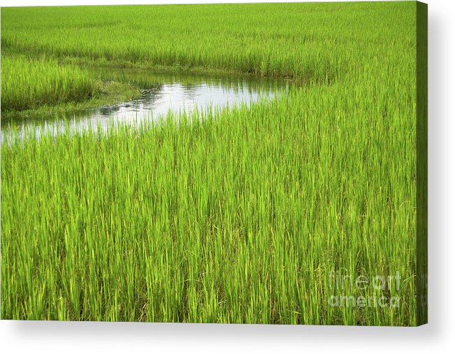 Nature Acrylic Print featuring the photograph Rice Paddy Field In Siem Reap Cambodia by Julia Hiebaum