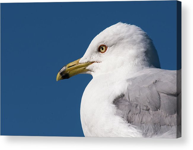 Jaques Marquette Acrylic Print featuring the photograph Ring-billed Gull Portrait by Onyonet Photo Studios