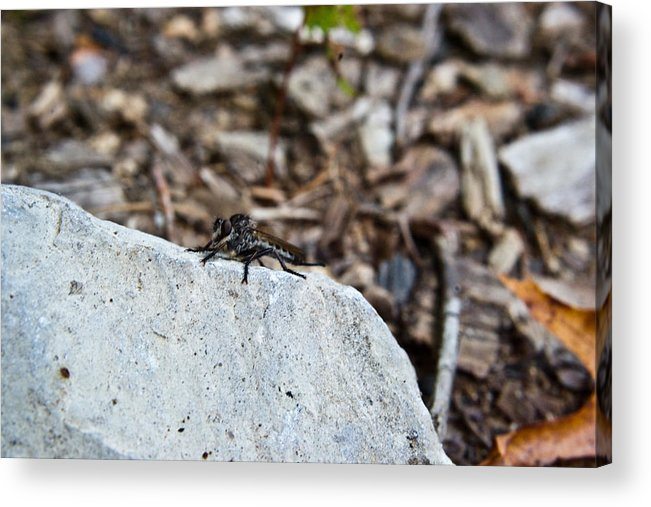 Sitting Acrylic Print featuring the photograph Robber Fly Sitting by Douglas Barnett