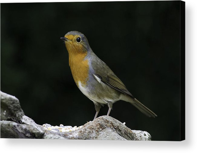European Robin Acrylic Print featuring the photograph Robin by Andy Van der motte