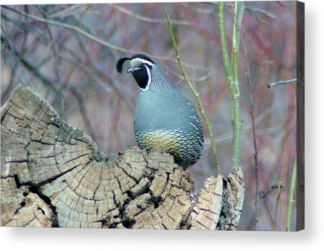 Fowl Acrylic Print featuring the photograph Rooster Quail by Jeff Swan
