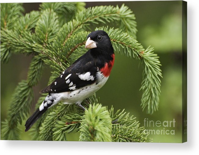 Male Acrylic Print featuring the photograph Rose-breasted Grosbeak - D002769 by Daniel Dempster