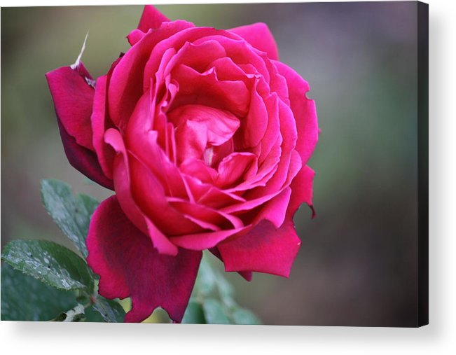 Floral Acrylic Print featuring the photograph Rose by Donna Walsh