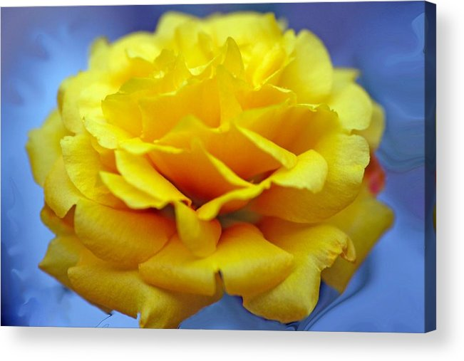Rose Acrylic Print featuring the photograph Rose Moss Flower by Jim Darnall