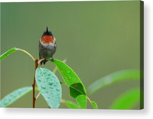 Birds Acrylic Print featuring the photograph Ruby-throated Hummingbird by Alan Lenk