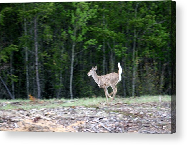 Deer Whitetail Doe Running Wild Nature Acrylic Print featuring the photograph Running Deer by Andrea Lawrence