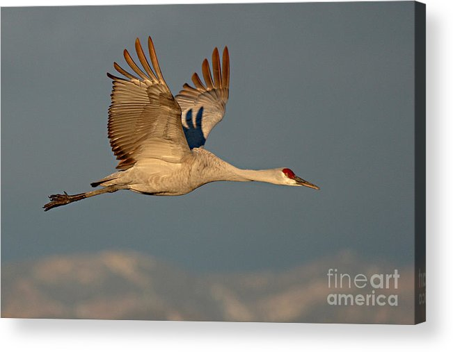 Crane Acrylic Print featuring the photograph Sandhill Crane Flying Above The Mountains Of New Mexico by Max Allen