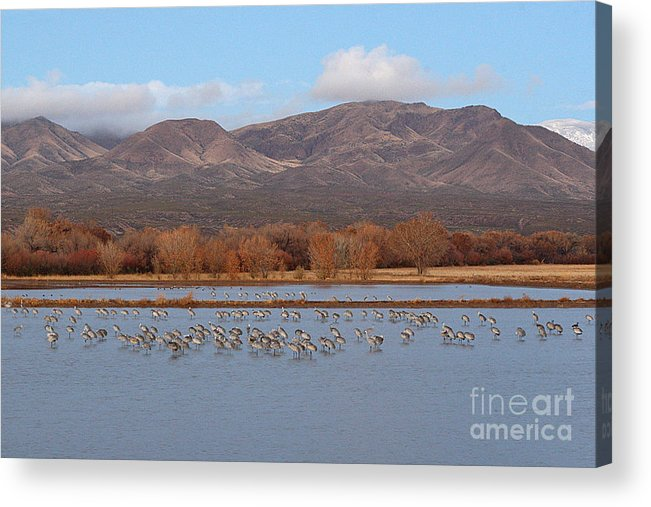 Sandhill Crane Acrylic Print featuring the photograph Sandhill Cranes Beneath The Mountains Of New Mexico by Max Allen