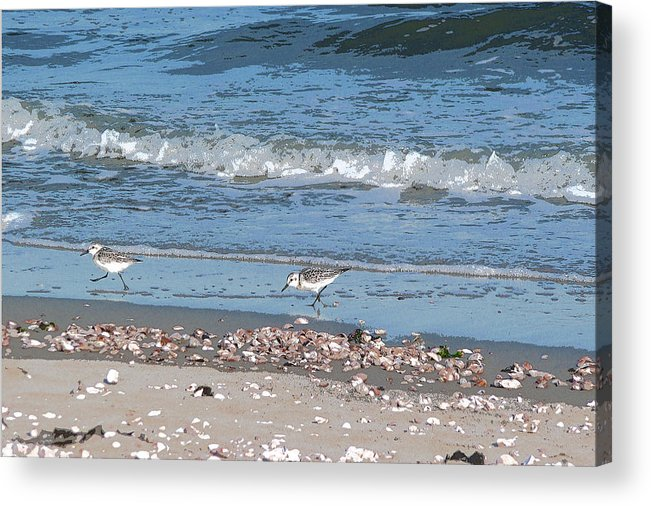 Sandpipers Acrylic Print featuring the photograph Sandpipers And Seashells - Poster by Margie Avellino
