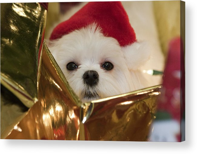 Maltese Acrylic Print featuring the photograph Santa Paws by Leslie Leda