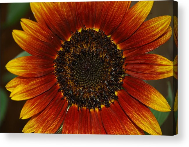 Flowers Acrylic Print featuring the photograph Saturation by Lori Mellen-Pagliaro