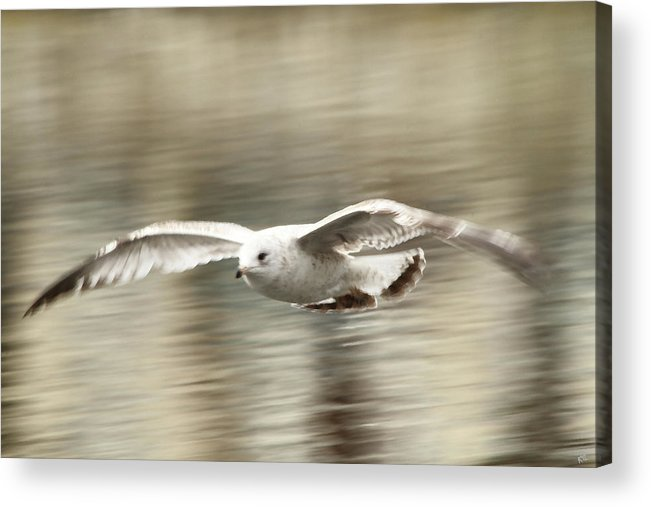 Seagull Acrylic Print featuring the photograph Seagull Glide by Karol Livote
