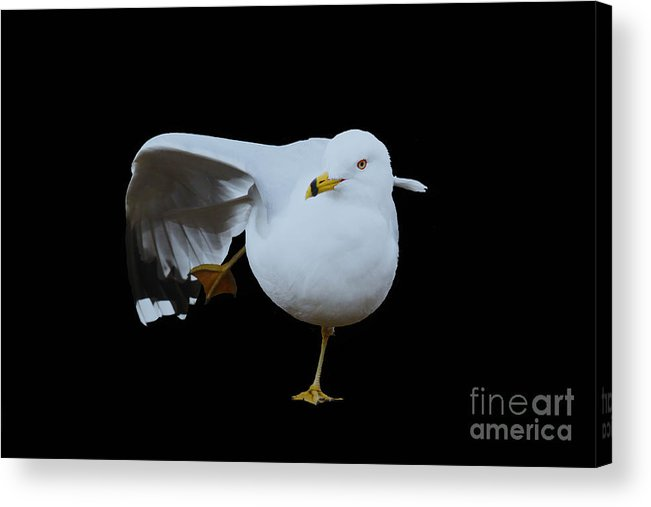 Seagull Acrylic Print featuring the photograph Seagull In A Stretch by Laura Birr Brown