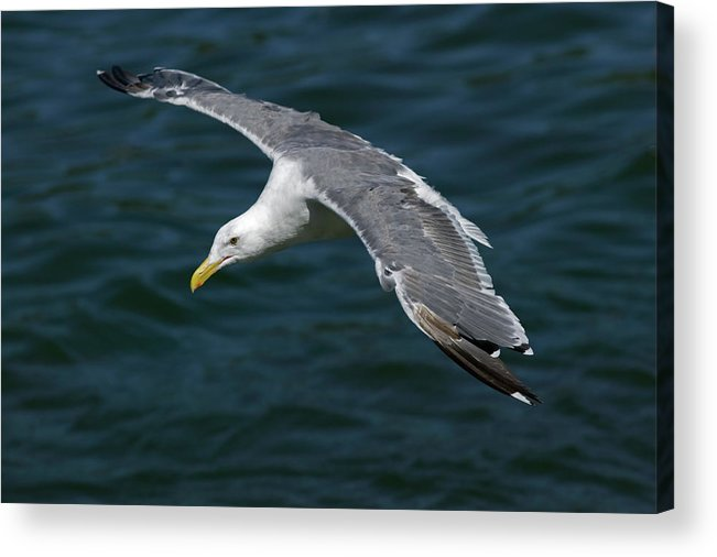 Animal Acrylic Print featuring the photograph Seagull In Flight by Randall Ingalls