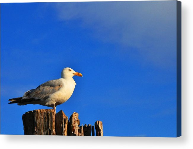 Seagull Acrylic Print featuring the photograph Seagull On A Dock by Andrew Dinh