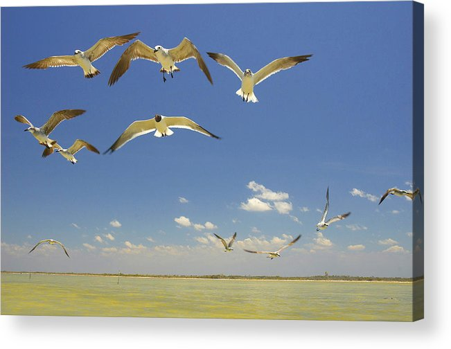Seagull Acrylic Print featuring the photograph Seagulls by Elisa Locci