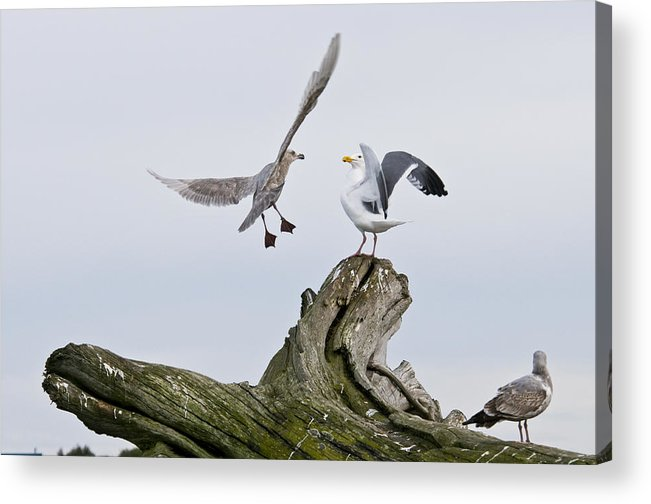 Birds Acrylic Print featuring the photograph Seagulls In Dispute by Chad Davis