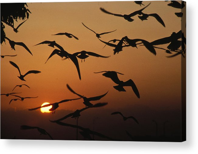 Birds Acrylic Print featuring the photograph Seagulls In Sunset by Carl Purcell