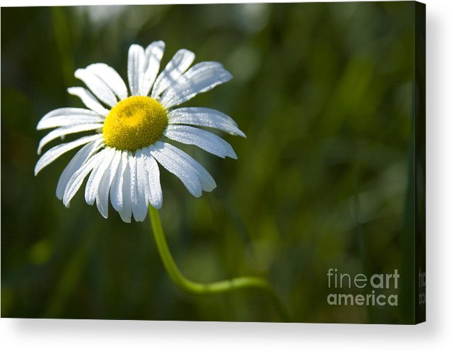 Daisy Acrylic Print featuring the photograph Searching For Sunlight by Idaho Scenic Images Linda Lantzy