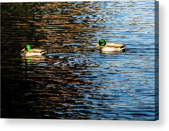 Colorado Acrylic Print featuring the photograph Shade And Sunlight - Mallard Ducks by Marilyn Burton