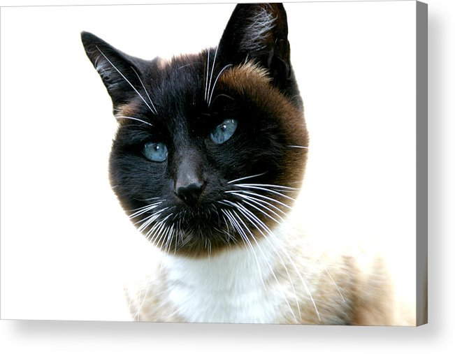 Cats Acrylic Print featuring the photograph Siamese Love by Kerri Childress