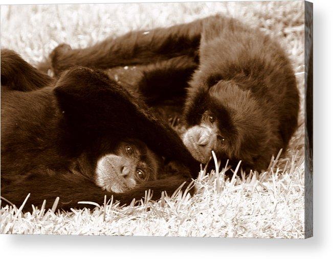 Landscape Acrylic Print featuring the photograph Sleepy Monkeys by Brad Scott