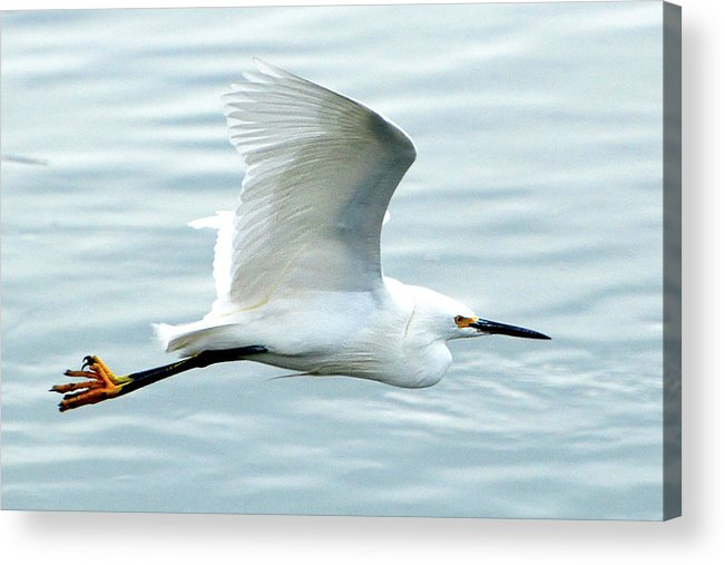 Egret Acrylic Print featuring the photograph Snowy Egret In Flight by Jerry Griffin