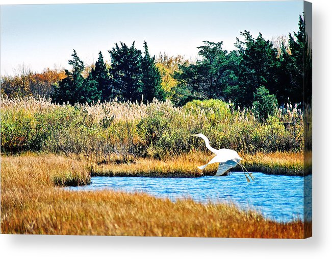 Landscape Acrylic Print featuring the photograph Snowy Egret-island Beach State Park N.j. by Steve Karol