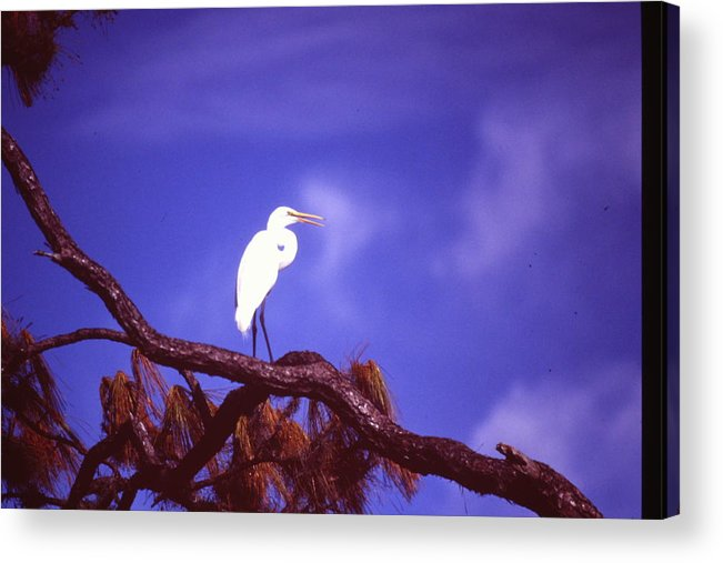 Snowy Egret Acrylic Print featuring the photograph Snowy Egret by Nicole Anderson